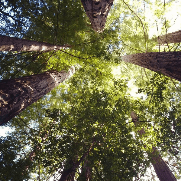 Looking upwards in wonder at the giant old growth redwoods in Big Basin State park, home to some of the best hikes near San Francisco.