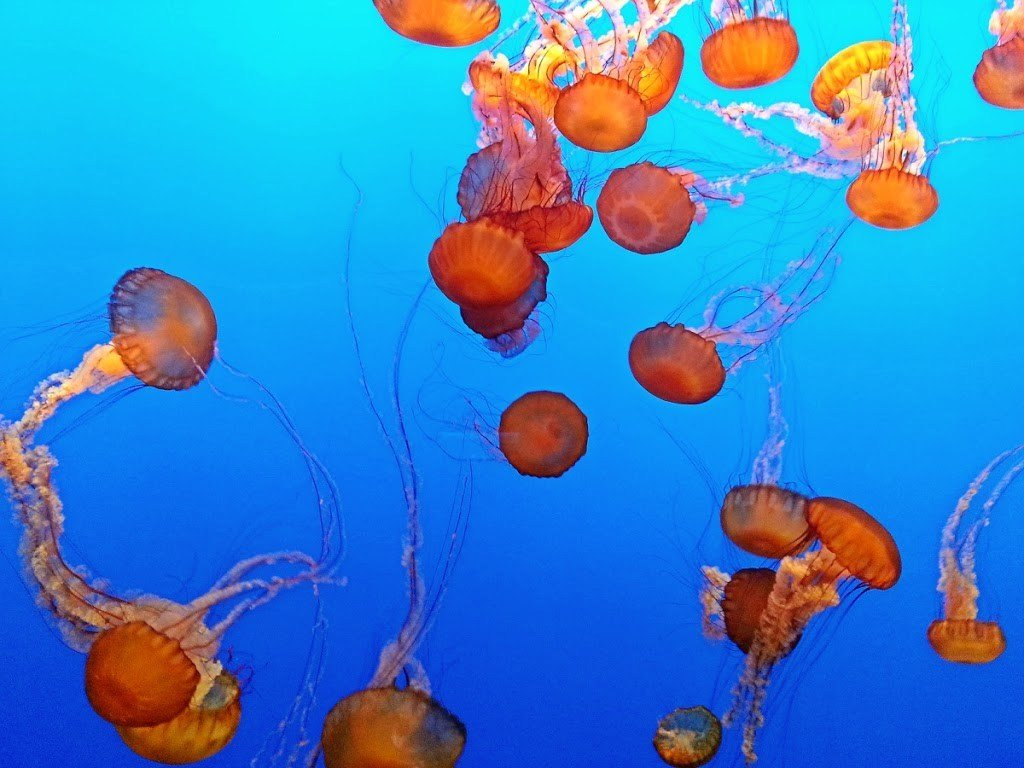 Jellyfish in the Monterey Bay aquarium in Monterey, California.