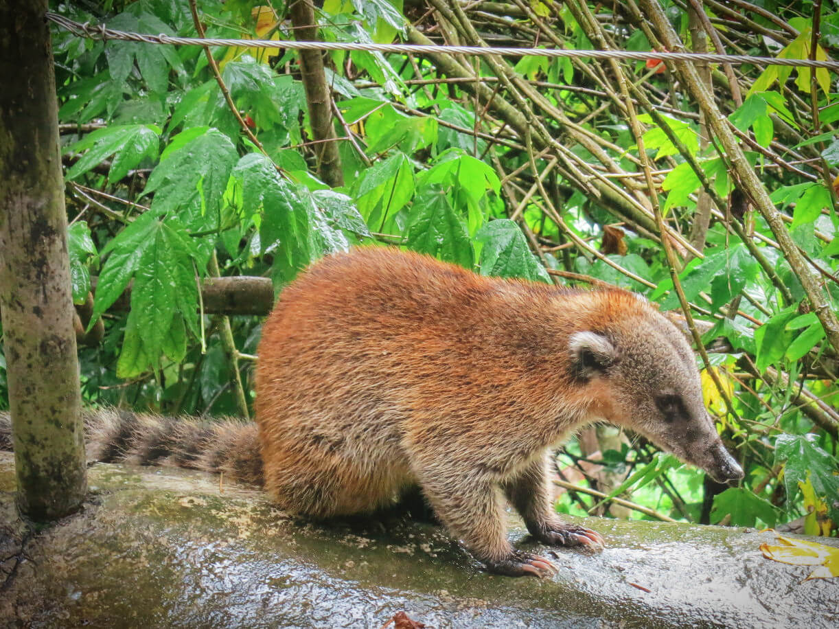 A coati in the cloud forest on the Valle de Cocora hike in Salento, Colombia.