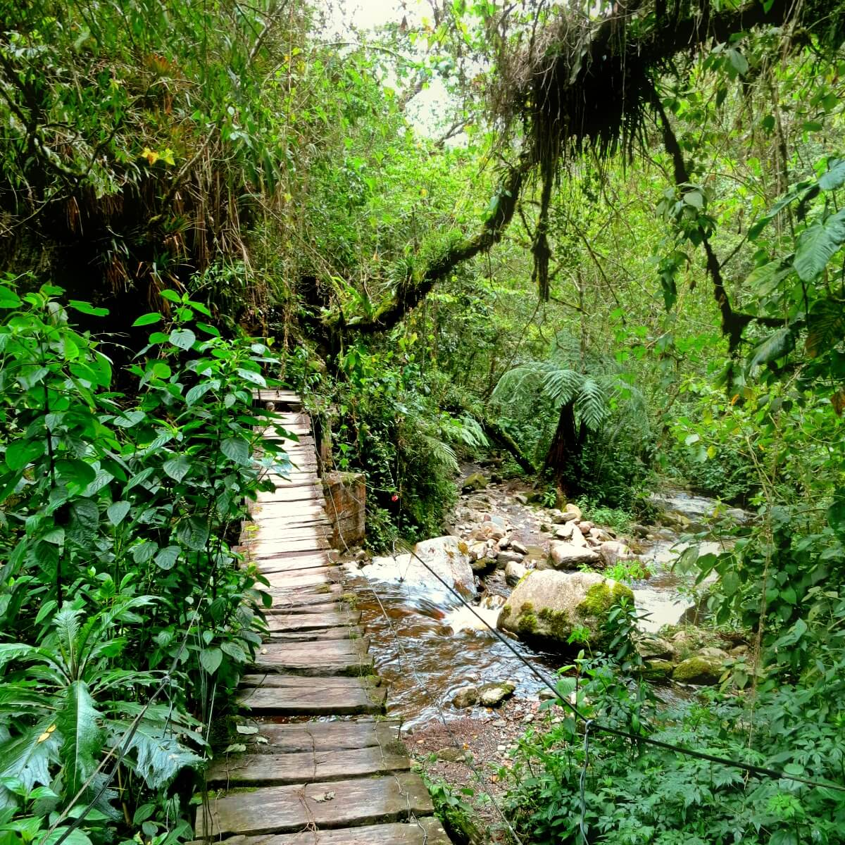 The first of 8 adventurous (ok, sketch) bridge crossings on the Valle de Cocora hike in Salento, Colombia!