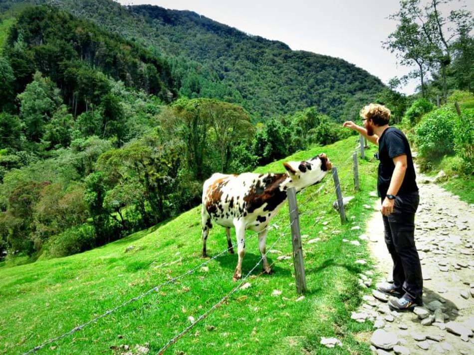 Hiking Valle de Cocora in Salento and making cow friends