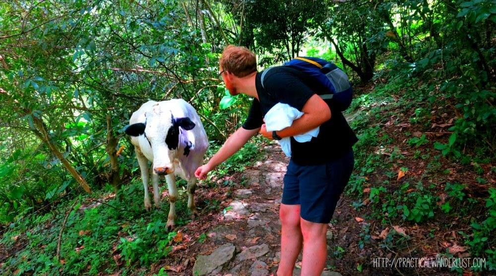 Making cow friends near Juan Curi waterfall in San Gil, the adventure capital of Colombia.