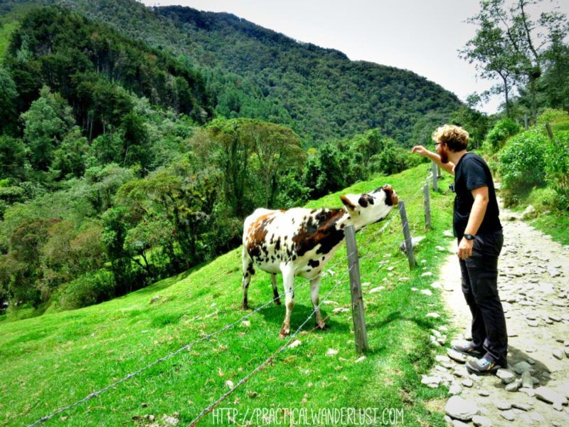 Making cow friends on the Valle de Cocora hike in Salento, Colombia.