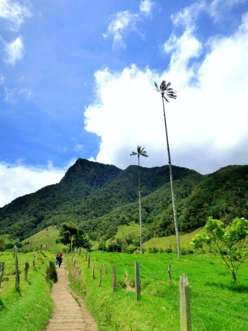 Towering wax palms dot the lush hills on the famous Valle de Cocora hike in Salento. Colombia!