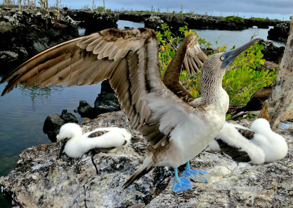 A blue footed booby and his babies on the Los Tuneles tour from Isabela Island in the Galapagos! Read the complete guide to backpacking the Galapagos Islands by land.