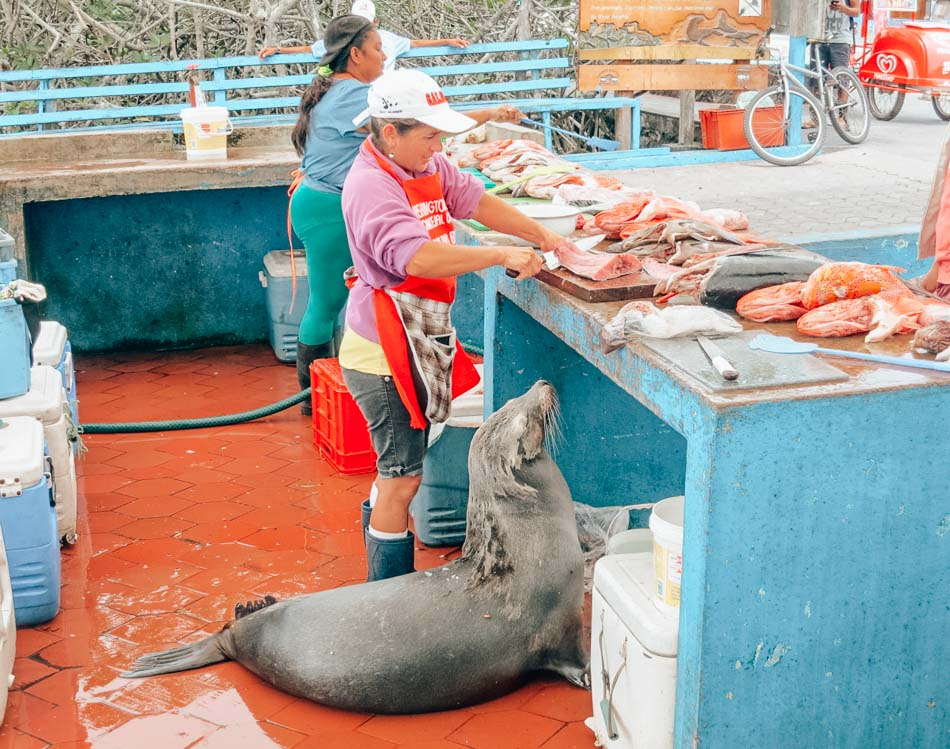 Lupe the Sea Lion is a regular at the Puerto Ayora Fish Market on Santa Cruz Island in the Galapagos Islands. She sits patiently waiting for scraps from the table, like a dog. We want to take her home as a pet!