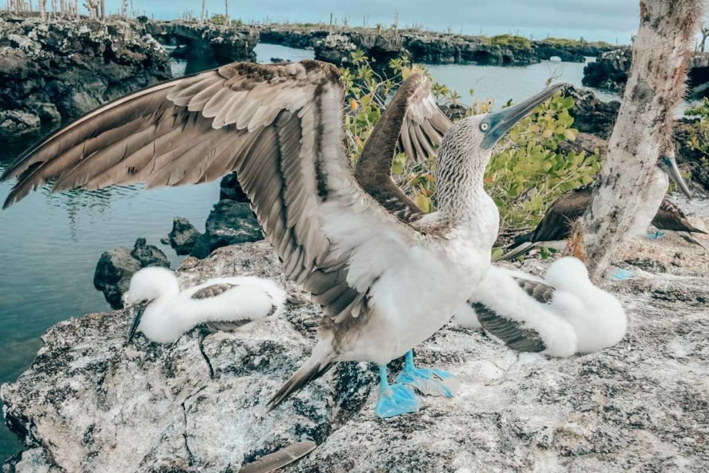 A blue footed booby and his babies on the Los Tuneles tour from Isabela Island in the Galapagos!
