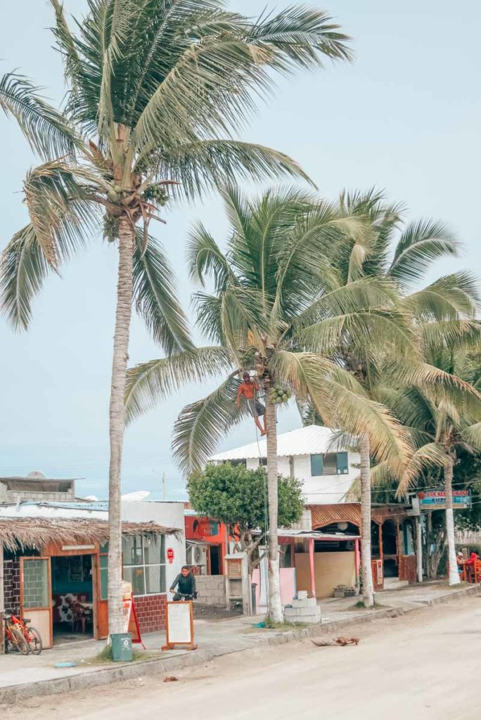 Scaling a tree to fetch fresh coconuts in Isla Isabela, Galapagos Islands, Ecuador.