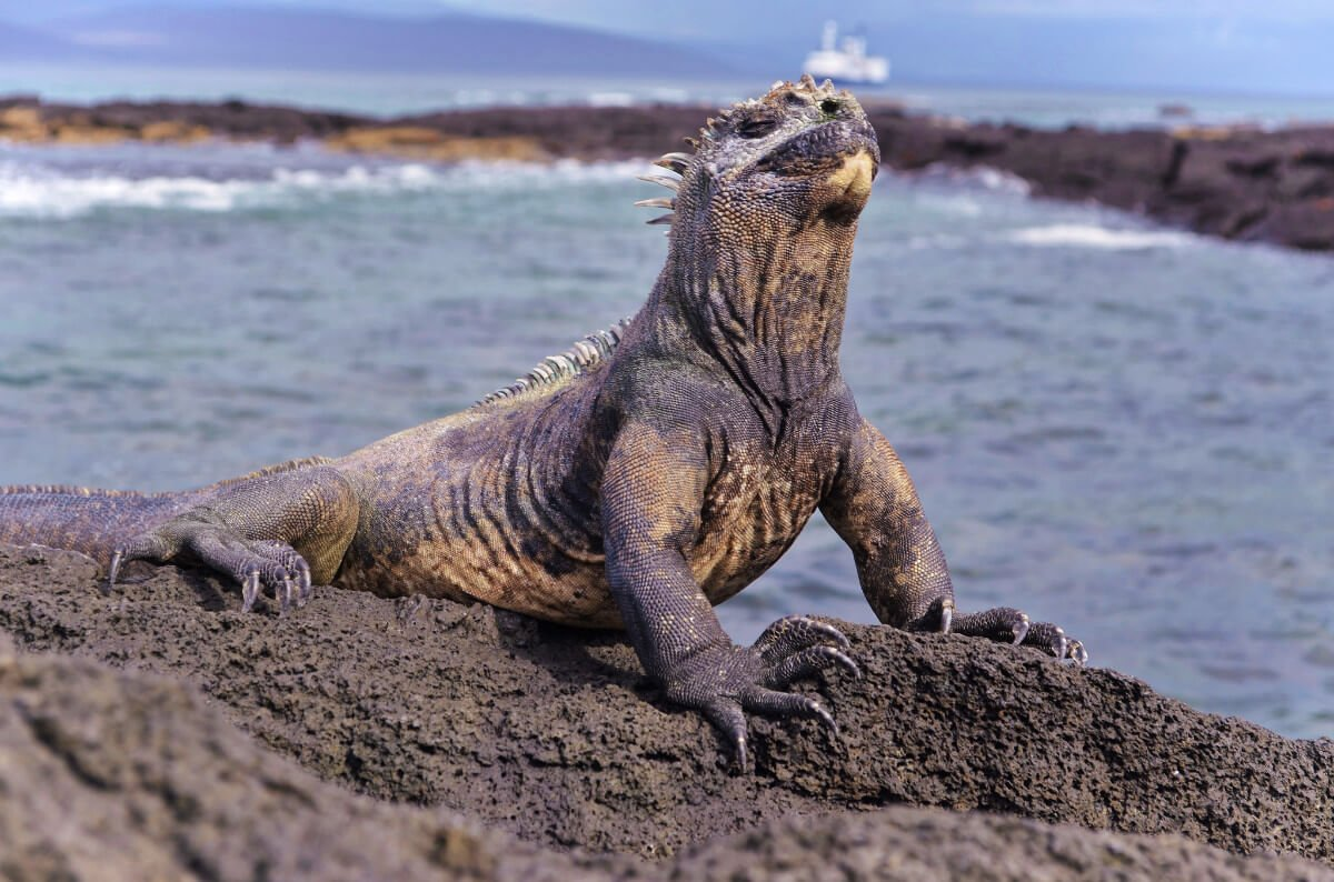 A marine iguana basking in the sun in the Galapagos Islands. You'll see plenty of these big guys when you visit the Galapagos Islands by land!