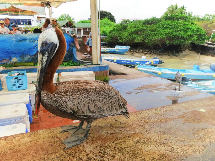Pelican at the Puerto Ayora fish market in the Galapagos Islands, Ecuador.