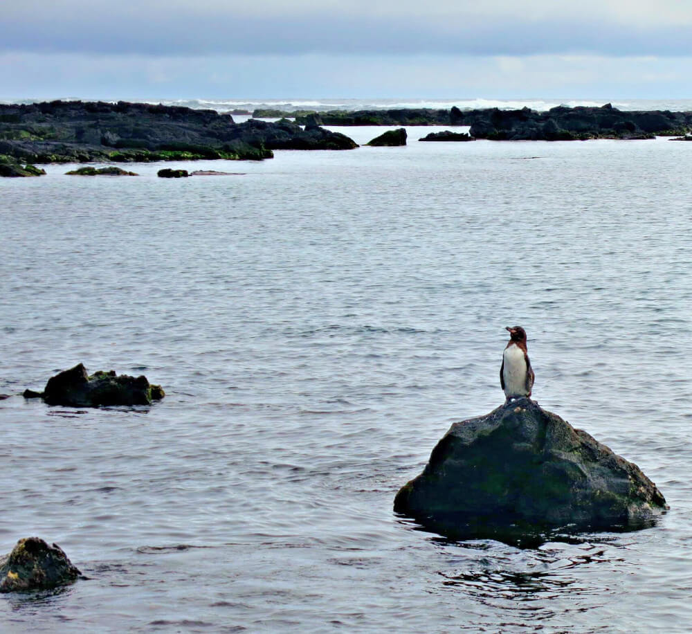 A lone penguin waiting for its mate on the Los Tuneles tour off of Isla Isabela in the Galapagos Islands.