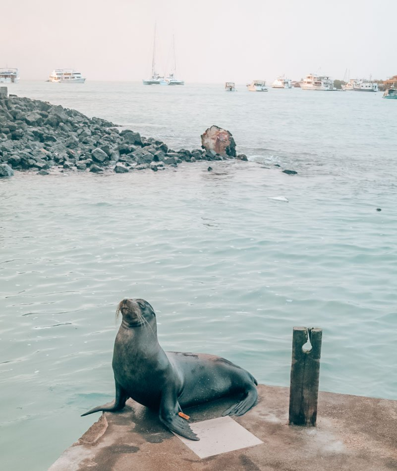 Sea lion at dawn on the docks of Puerto Ayora in the Galapagos Islands.