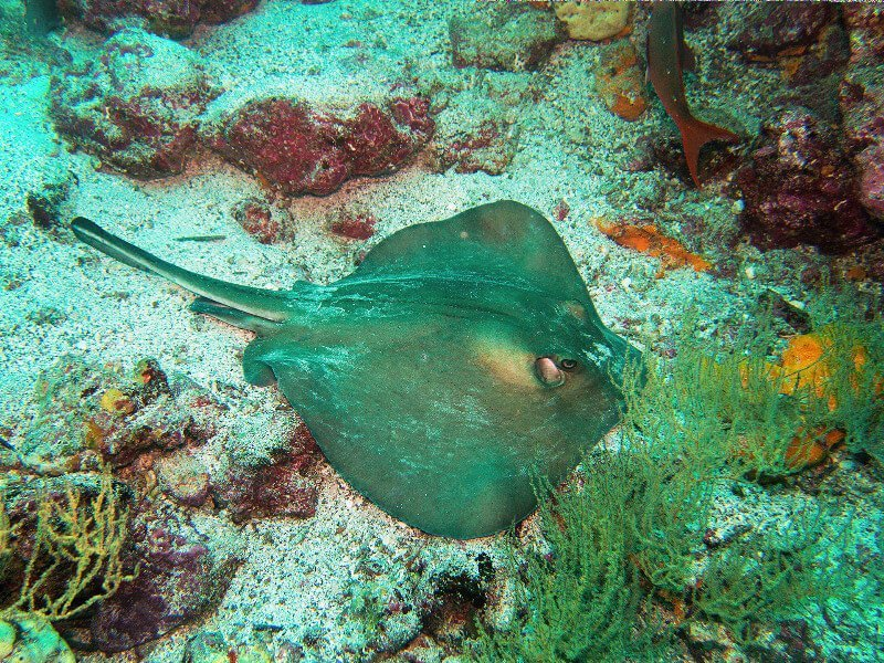 You'll see plenty of rays, like this one, when snorkeling in the Galapagos! Don't worry, they're friendly.