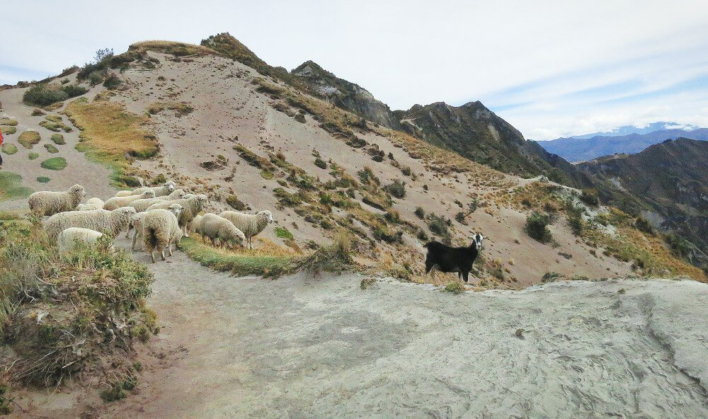 Herd of sheep on the Quilotoa Loop hike in Ecuador.