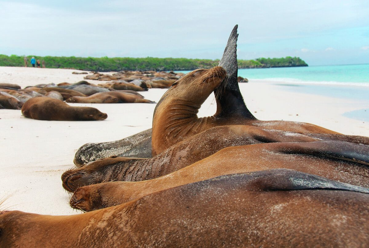 Sea lions basking on the beach in the Galapagos Islands, Ecuador. Complete guide to the Galapagos without a cruise.