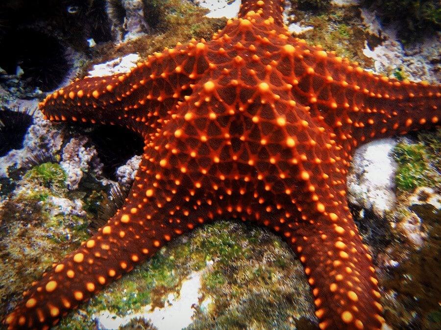 Galapagos Starfish on the Los Tintoreras tour from Isabela Island, the Galapagos, Ecuador.