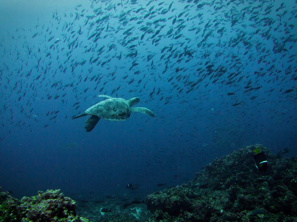 Sea turtle swimming underwater in the Galapagos Islands.