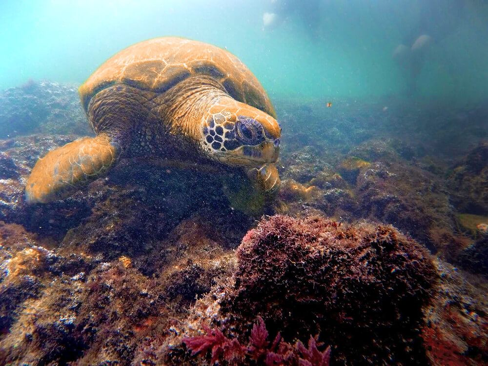 Snorkelling with a sea turtle: just another day in the Galapagos Islands.