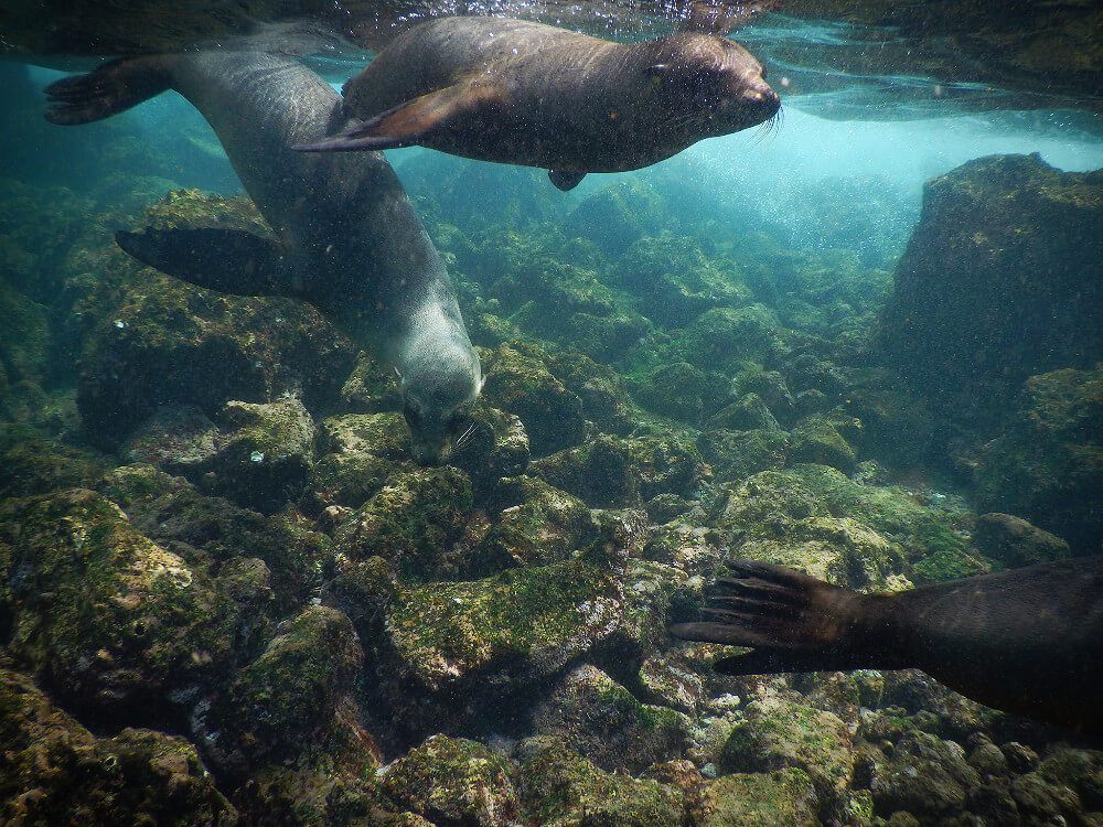 We got to swim with sea lions on the Santa Fe Island day tour from Puerto Ayora on the Galapagos Islands in Ecuador!