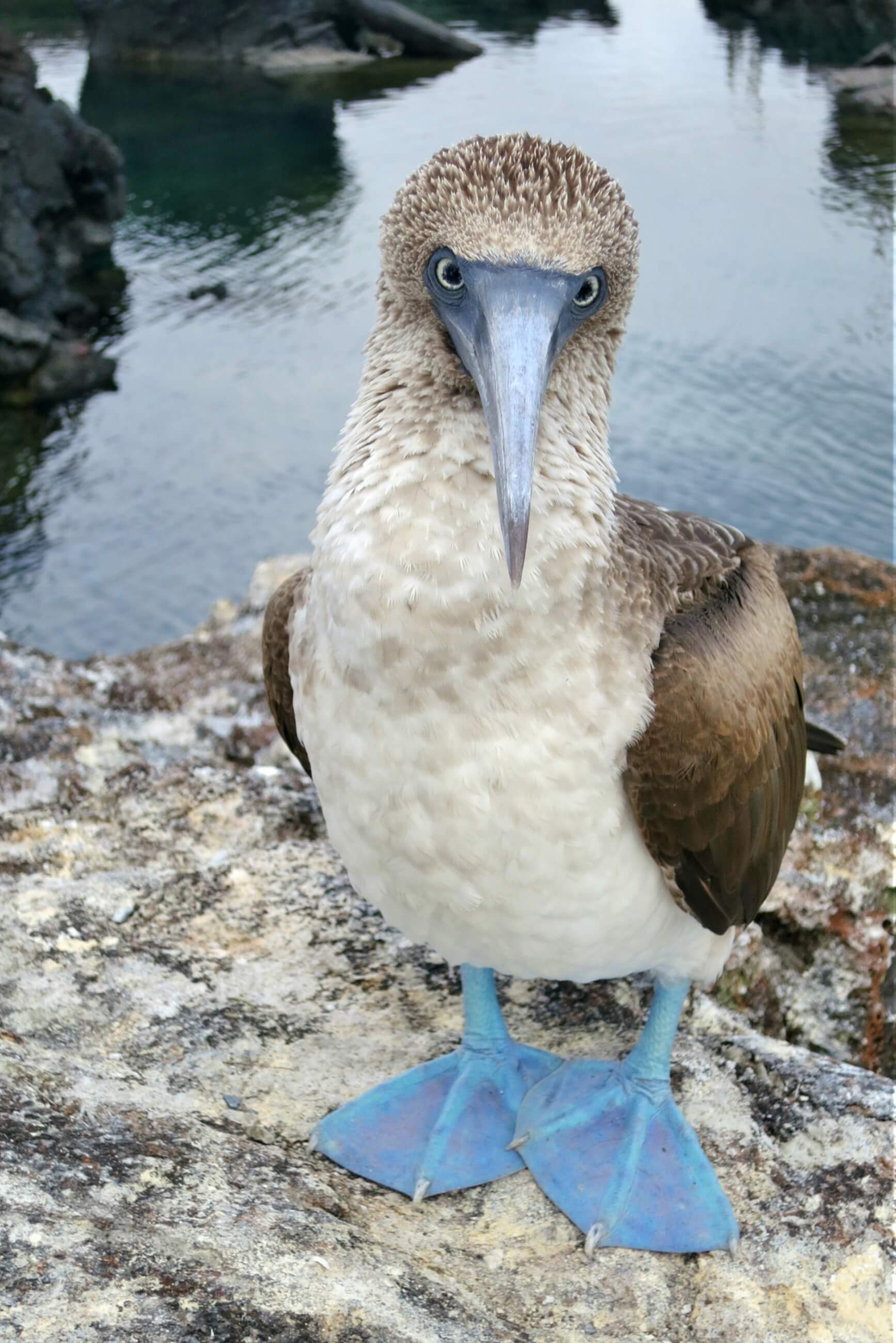 A female blue footed booby on the Los Tuneles tour, from Isla Isabela, in the Galapagos Islands! Self guided visit to Las Grietas, near Punta Estrada, in Puerto Ayora, Santa Cruz Island, Galapagos, Ecuador. Read our complete guide to the Galapagos Islands without a cruise!