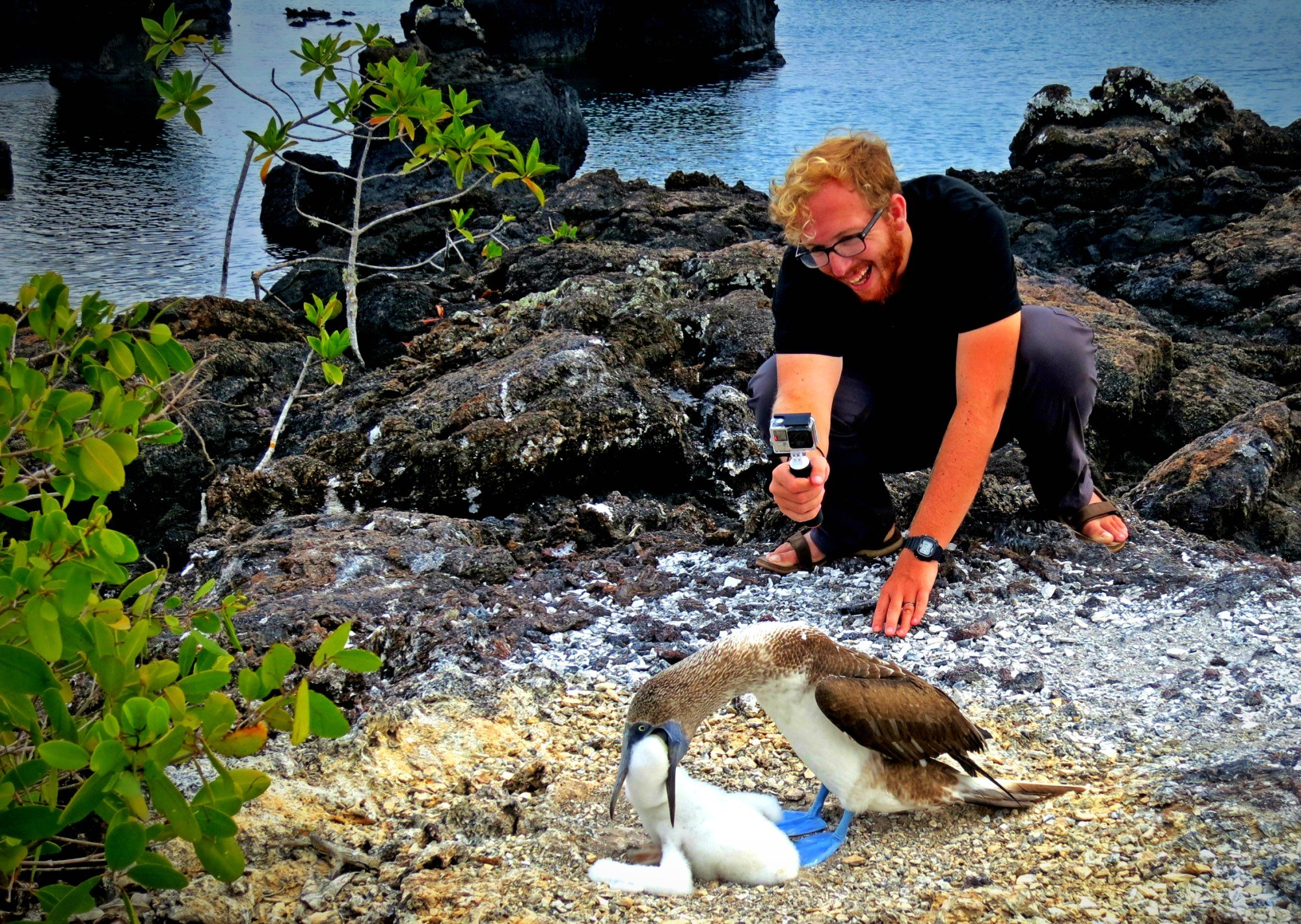 Watching blue footed boobies feed in the Galapagos Islands