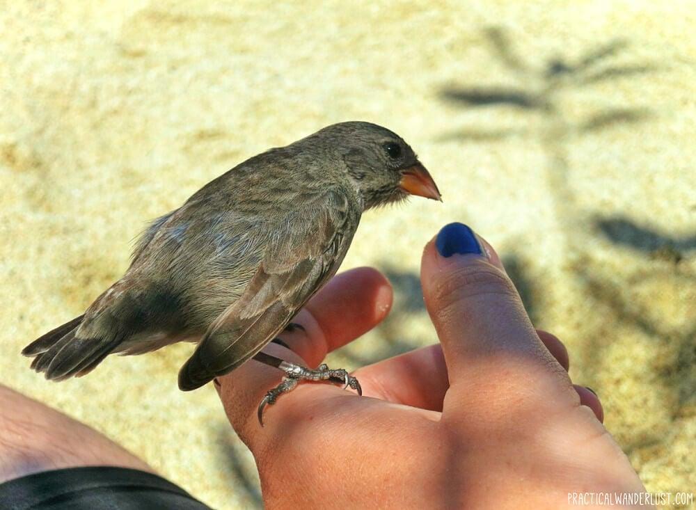 Friendly Darwin Finch in Punta Estrada, Santa Cruz Island, Galapagos, Ecuador