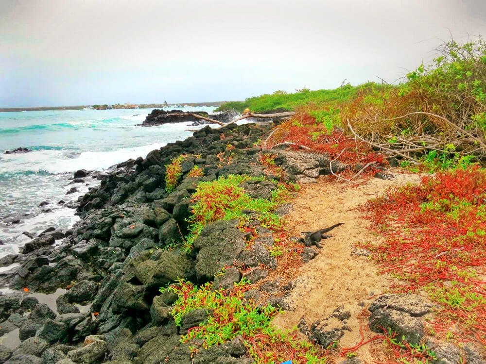 Hiking trail by the beach on Santa Cruz Island in the Galapagos, with a very chill marine iguana. Read more in our complete guide to the Galapagos Islands without a cruise!