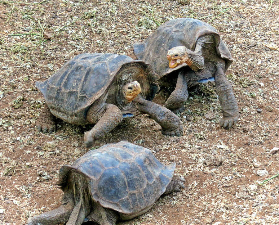 Land tortoises at the Charles Darwin Breeding Center in Puerto Ayora, Santa Cruz, The Galapagos Islands, Ecuador.
