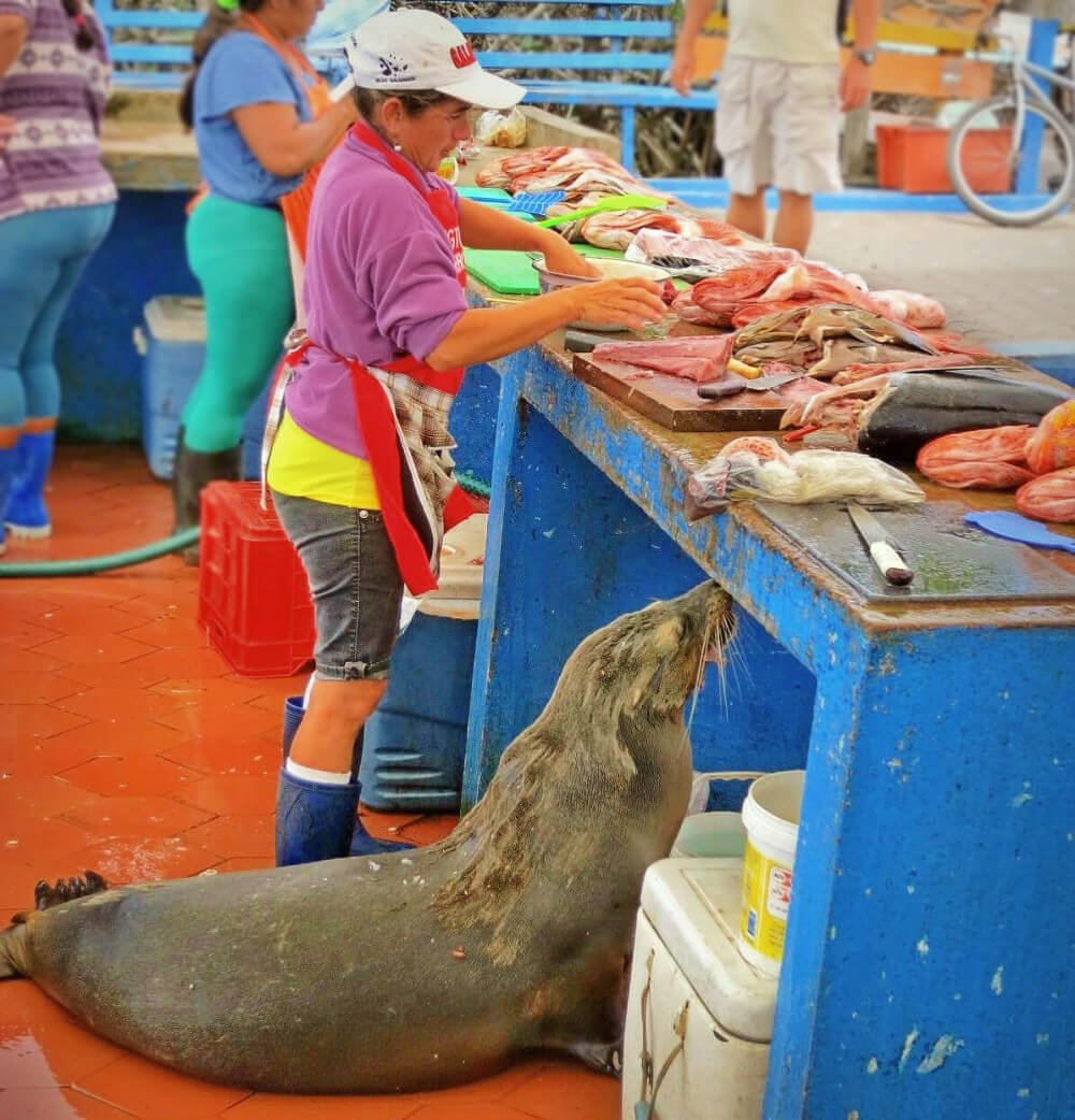 Lupe the Sea Lion is a regular at the Puerto Ayora Fish Market on Santa Cruz Island! The Puerto Ayora Fish Market is a recommended stop in our complete guide to the Galapagos Islands without a cruise!