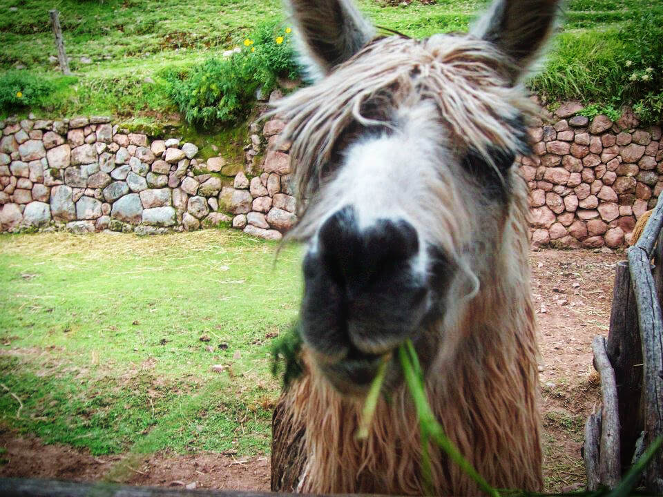 Photo bombing llama at Machu Picchu, Peru! Read our post on things to know before you go to Cusco and Machu Picchu.