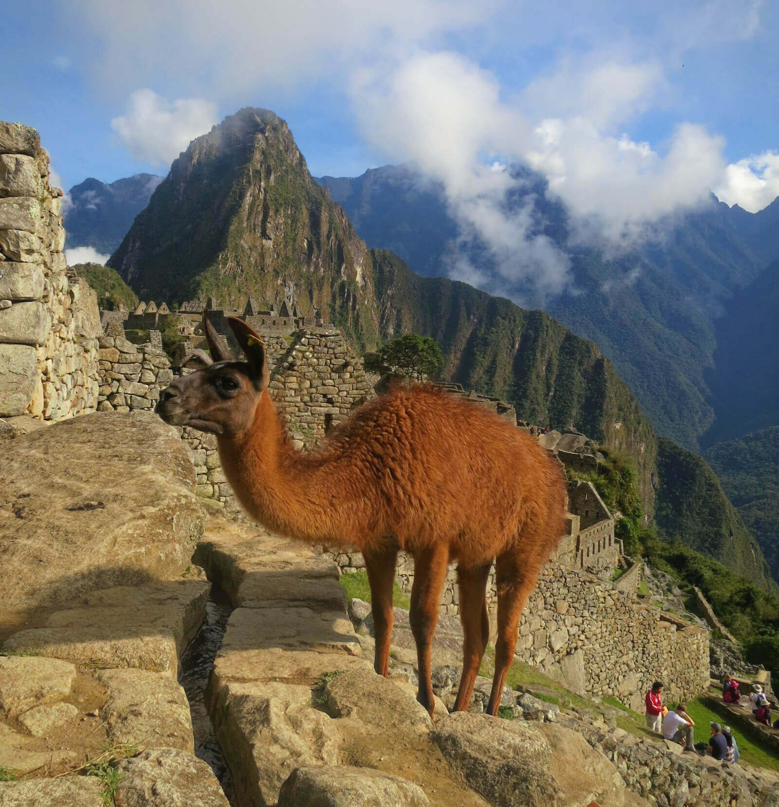 Llama in front of the ruins of Machu Picchu, Peru!