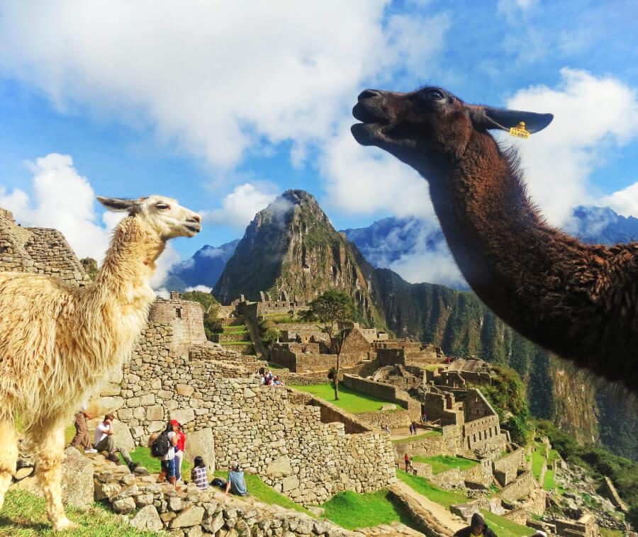 Llamas in Machu Picchu, Peru, after our failure hiking the Inca Trail to Machu Picchu.