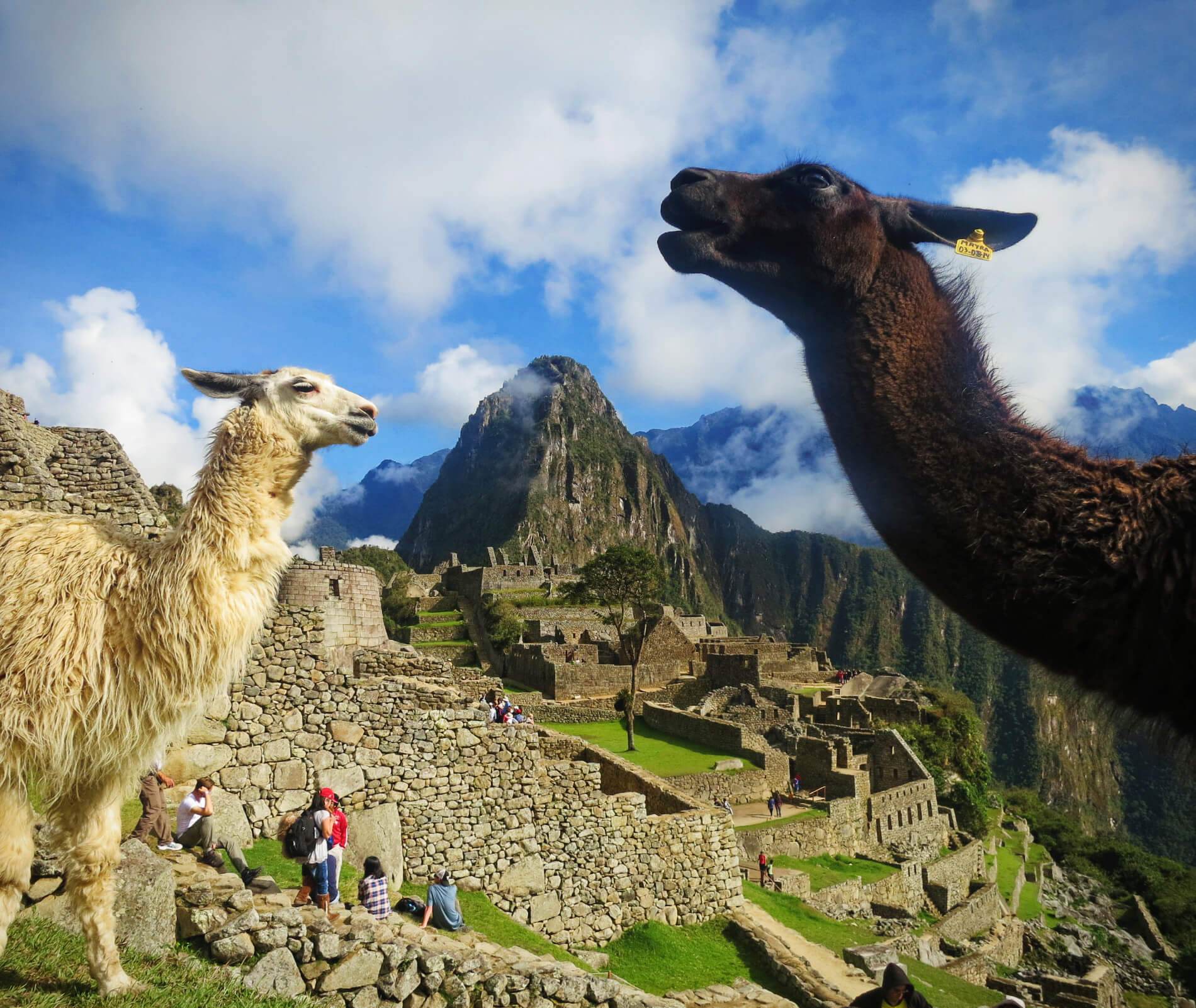 Llamas in Machu Picchu, Peru, after our failure on the Inca Trail to Machu Picchu.