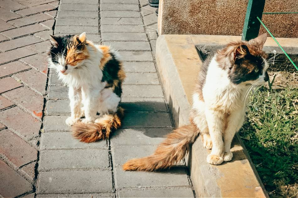 Two of the fluffiest Parque Kennedy cats!