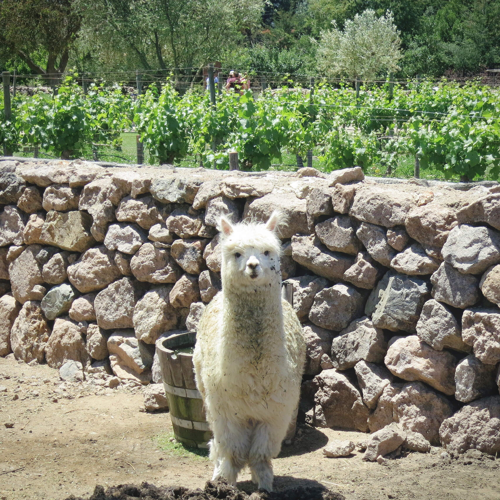 An adorable alpaca, one of the many resident animals at Emiliana Organic Vineyards in Casablanca Wine Region! We visited Emiliana Organic Vineyards to go wine tasting in Valparaiso without a tour.