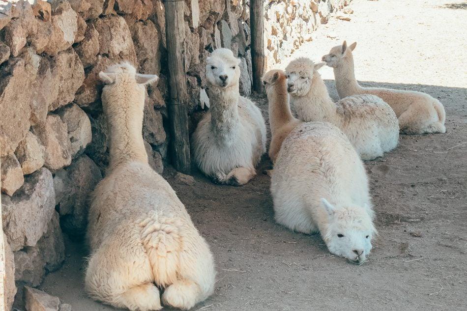 The resident herd of alpacas at Emiliana Vineyards in Casablanca Valley