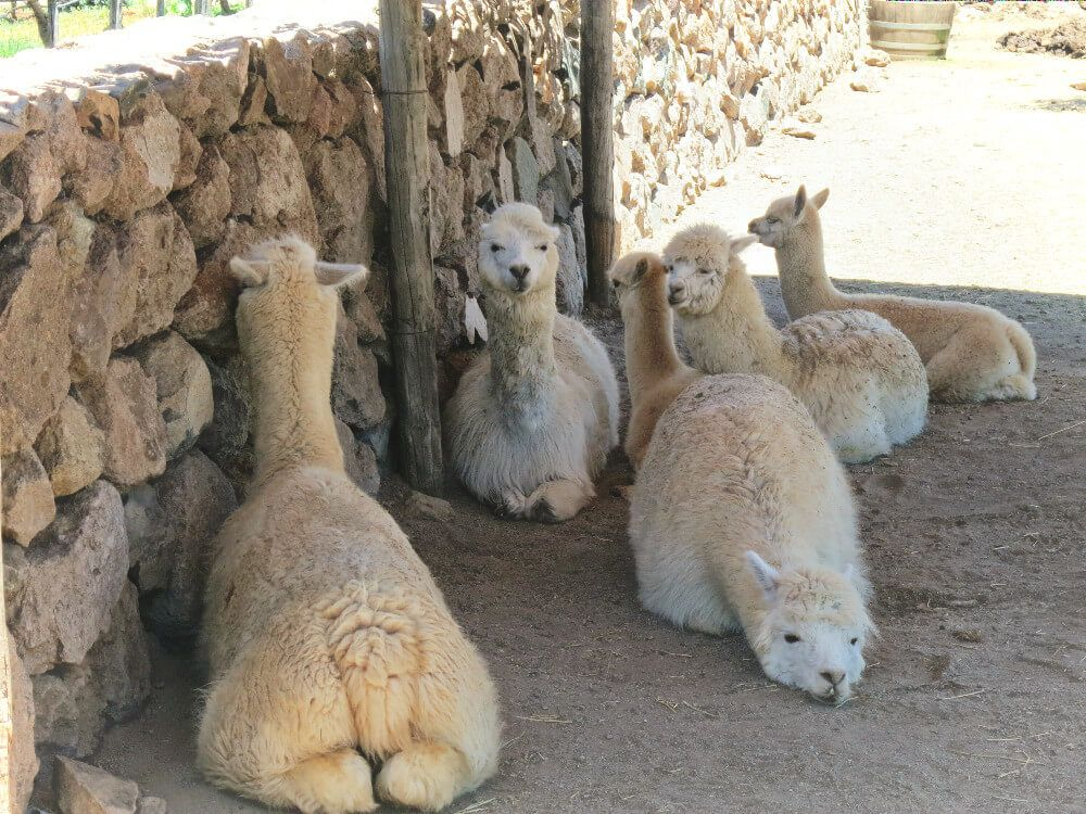 The resident herd of alpacas at Emiliana Vineyards in Casablanca Valley, near Valparaiso, Chile.