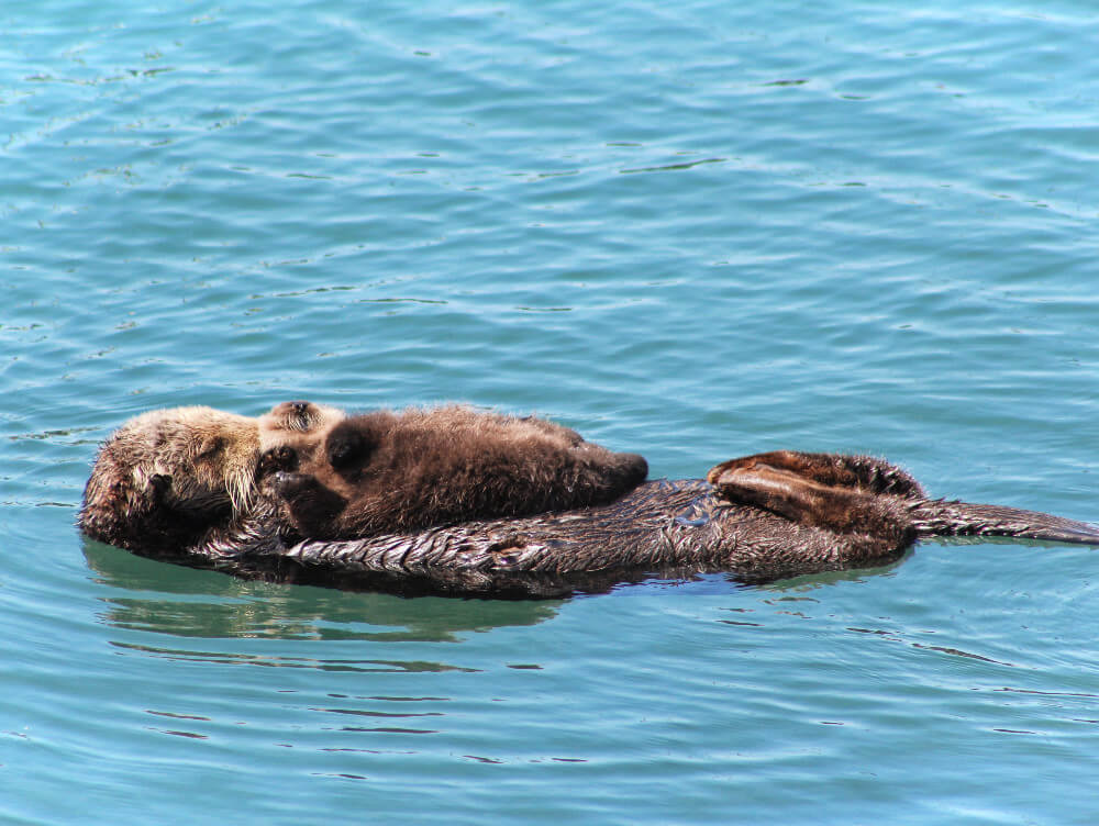 An otter and its pup in Morro Bay, California. Morro Bay is a marine sanctuary, and every year more and more otters flock to its safe harbor to cuddle and be adorable with their babies!