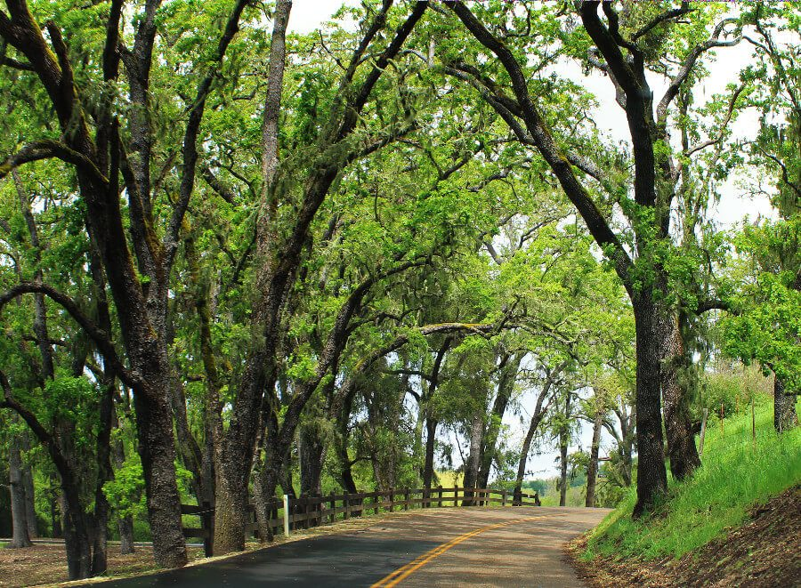 When visiting wineries in Paso Robles, California, you'll find yourself winding through incredible scenic covered roads like this one, on the way to Tablas Creek Vineyards.