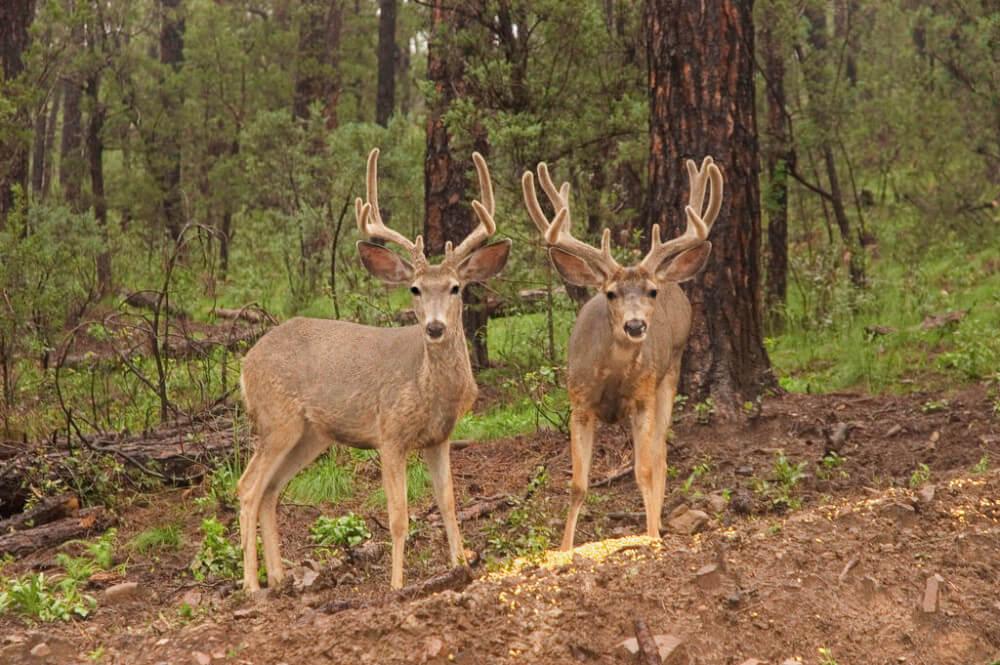 Majestic deer in Ruidoso, New Mexico.