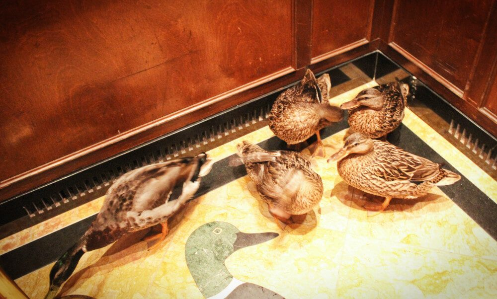The ducks that live at the Peabody Hotel in Memphis, Tennessee