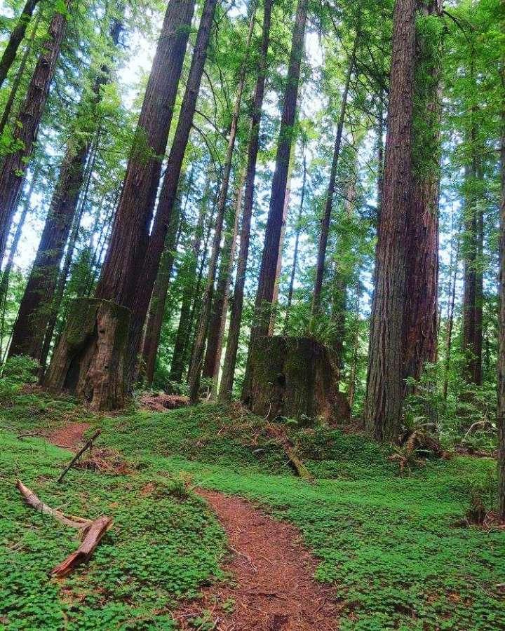 Redwoods when hiking Cataract Falls