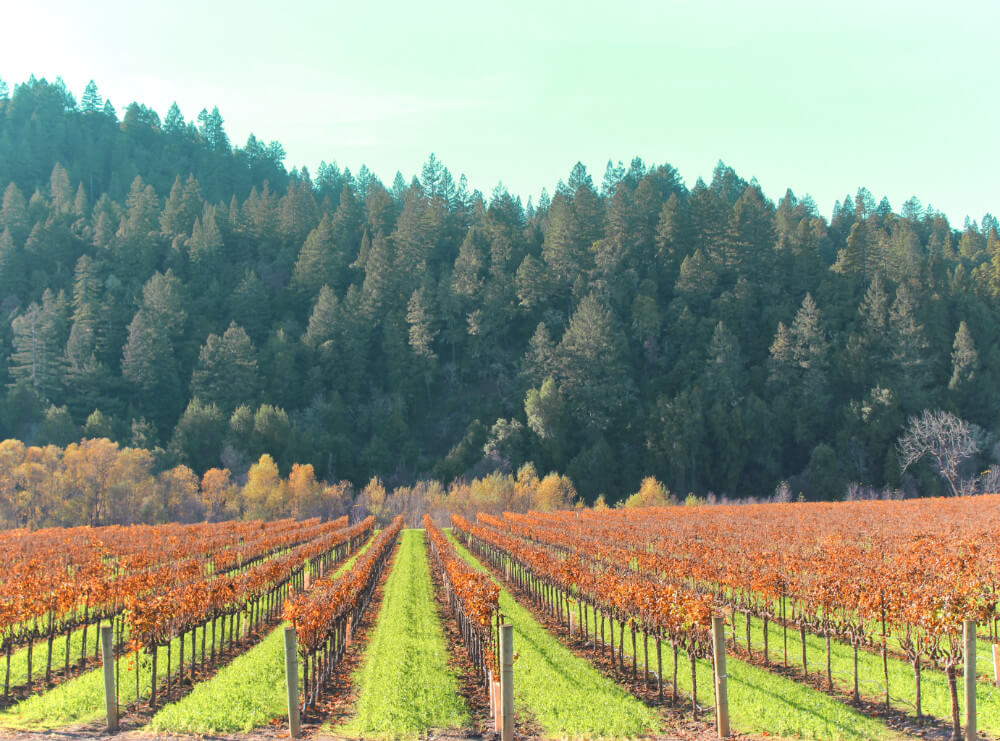Vineyards in the fall in Guerneville, California