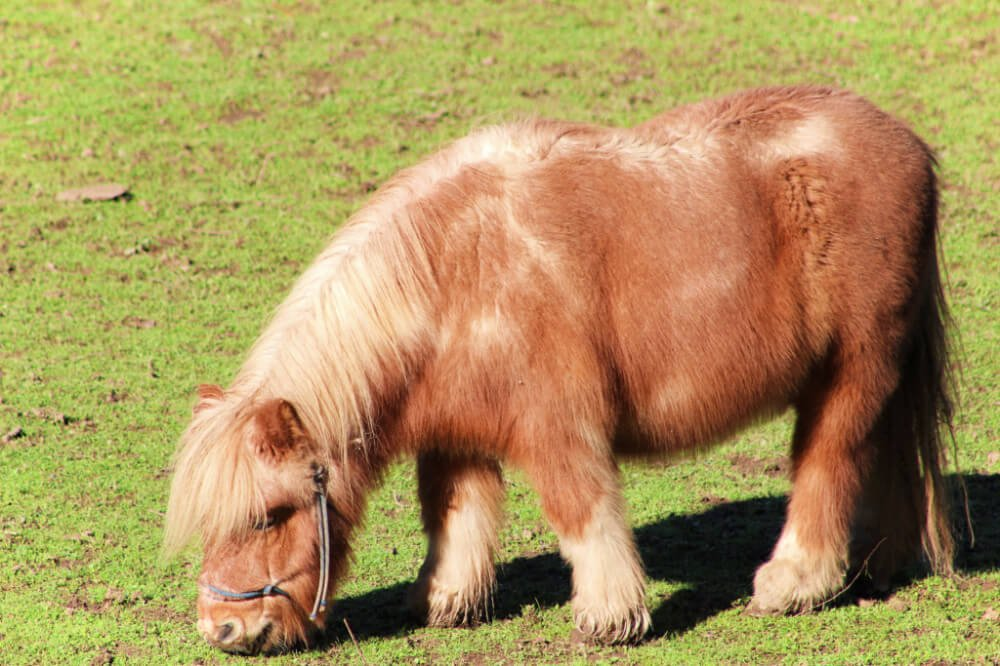 A pony in Guerneville, California