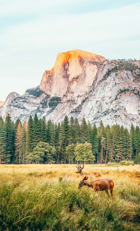 Deer grazing in Yosemite Valley in front of Half Dome at sunset in Yosemite National Park