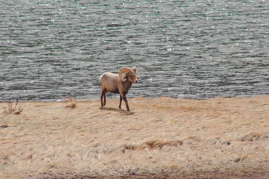 Big Horn Sheep in Rocky Mountain National Park, Colorado, one of the best day trips from Boulder.