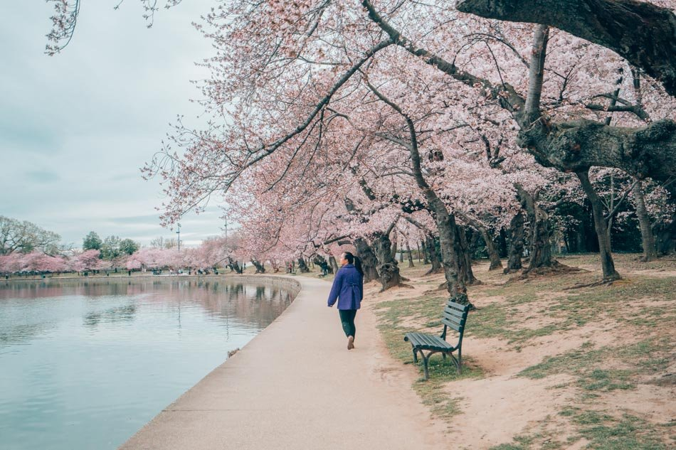 Cherry blossoms along the waterfront in Washington DC.