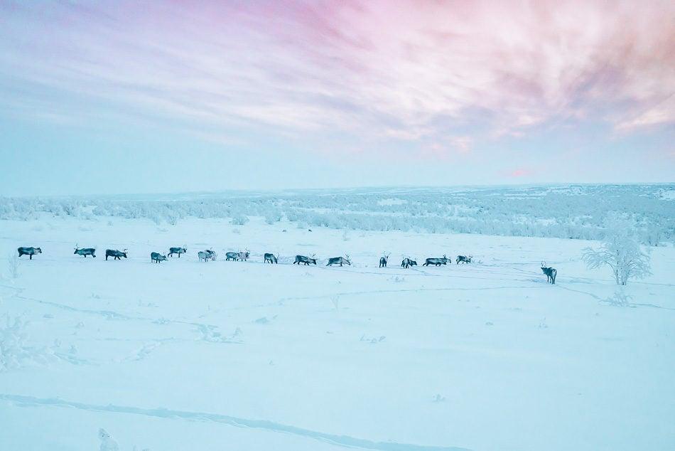 Reindeer grazing underneath the sunset in the Norwegian Arctic Tundra