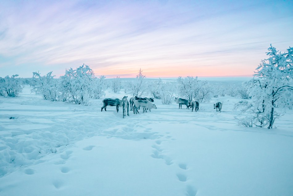 Reindeer grazing in the tundra in Finnmark, Norway, in the Arctic.