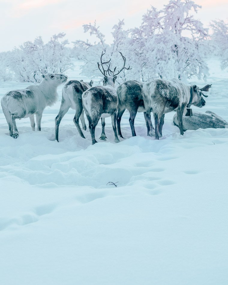 Fluffy reindeer butts in the Arctic Tundra of Norway.